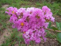 Blowsy pink crepe myrtle flowers. This is a fluffy looking pink crepe myrtle flower stalk royalty free stock photography