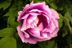 Blowsy pink peony Stock Images