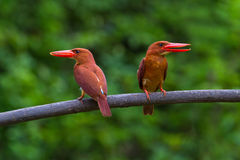 Blozend Ijsvogel Stock Foto's