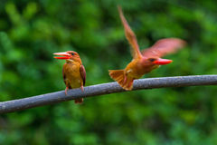 Blozend Ijsvogel Royalty-vrije Stock Afbeeldingen