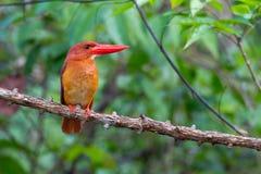 Blozend Ijsvogel Stock Fotografie