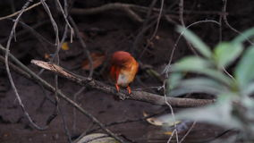 Blozend Ijsvogel stock footage