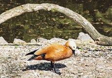 Blozende shelduck bij lakeshore (Tadorna-ferruginea) stock fotografie