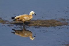 Blozende shelduck in Nepal Stock Foto's