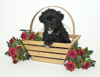 Blsck Yorki-Poo Puppy Stock Photography