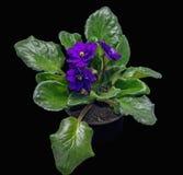 Blssom фиолетов Стоковое Изображение