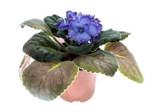 Blssom de violettes Photos libres de droits
