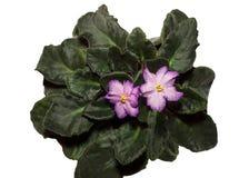 Blssom de violettes Images libres de droits