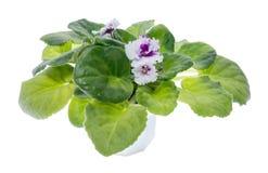 Blssom de violettes Photographie stock libre de droits