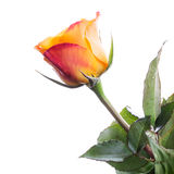 Blöta den isolerade röda och gula rosa blomman Arkivfoton