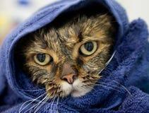 Blöta katten på en blåtthandduk Arkivbild