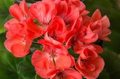 Blüte der Pelargonie (Pelargonie) Stockfotos