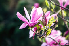 Blüte des Magnolienbaums Schöne rosa Magnolienblume auf natürlichem abstraktem weichem Blumenhintergrund Frühlingsblumen im botan Lizenzfreie Stockfotos
