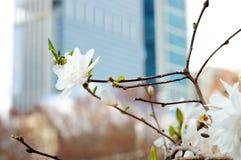 Blütenbaum mit Wolkenkratzer auf Hintergrund Stockfotografie