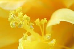 Blütenstaubkörner des gekräuselten Hibiscus Stockfoto