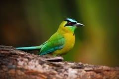 Blått-krönad Motmot, Momotusmomota, stående av trevlig gräsplan och gulingfågel, lös natur, djur i naturskoglivsmiljön, Nic Arkivfoton