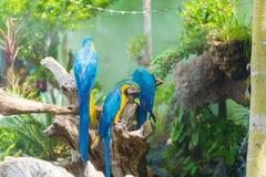 Blått- och gulingarafågeln klamra sig fast intill en trädfilial, Arkivbild