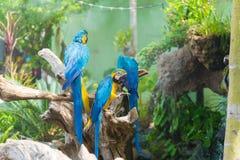 Blått- och gulingarafågeln klamra sig fast intill en trädfilial, Arkivfoton