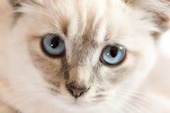 Blått synar kattungen Royaltyfria Bilder