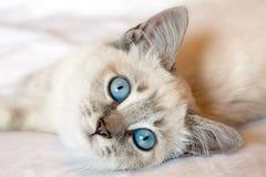 Blått synar kattungen Arkivfoto