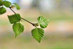 Blätter der Birke Stockfotos