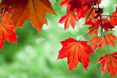 Blätter des roten Ahornholzes Lizenzfreies Stockbild