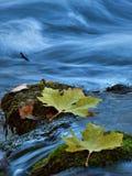 Blätter im Nebenfluss Stockbild