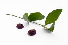 Blätter und Samen der Buxacee (Simmondsia chinensis) Stockfotos
