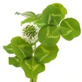 Blätter und weiße Blume des Klees Stockfotos