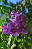 Blu Aeridinae di Vanda dell'orchidea Fotografia Stock