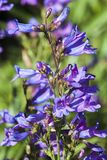 ` Blu celeste del ` di heterophyllus del Penstemon fotografie stock libere da diritti
