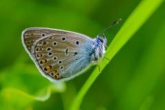 Blu comune macchiato della farfalla Fotografia Stock