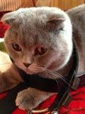 Blu del gatto Immagini Stock