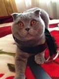 Blu del gatto Fotografia Stock