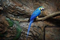 Blu del pappagallo dell'ara Fotografie Stock Libere da Diritti