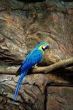 Blu del pappagallo dell'ara Immagini Stock Libere da Diritti