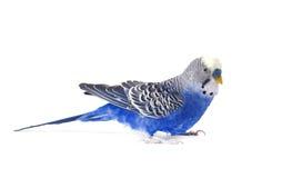 Blu di Budgie, su fondo bianco Pappagallino ondulato nella piena crescita Fotografia Stock Libera da Diritti