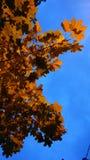 Blu di Mapple fotografia stock libera da diritti