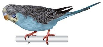 Blu di pappagallino ondulato Fotografia Stock