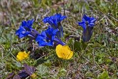 Blu e giallo - genziana e cinquefoil fotografia stock libera da diritti