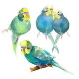 Blu ondulato del pappagallo con un'illustrazione capa gialla dell'acquerello immagini stock libere da diritti