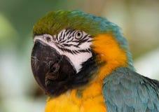 Blu & oro, pappagallo, pappagallo di Amazon Immagini Stock Libere da Diritti