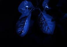 Blu rugiadoso Immagine Stock Libera da Diritti