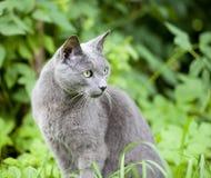 Blu russo della razza del gatto Fotografia Stock Libera da Diritti
