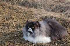 Blu tabbie persian cat. On the ground Royalty Free Stock Photos