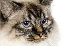 Blu-tabby-point Birman (18 months). In front of a white background stock photos