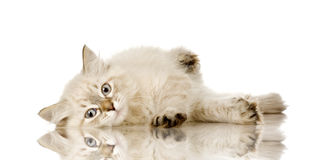 Blu-tabby-point Birman kitten. In front of a white background royalty free stock photos