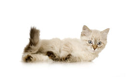 Blu-tabby-point Birman kitten Royalty Free Stock Photo