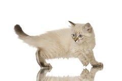 Blu-tabby-point Birman kitten Stock Image