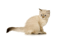 Blu-tabby-point Birman kitten Royalty Free Stock Photos
